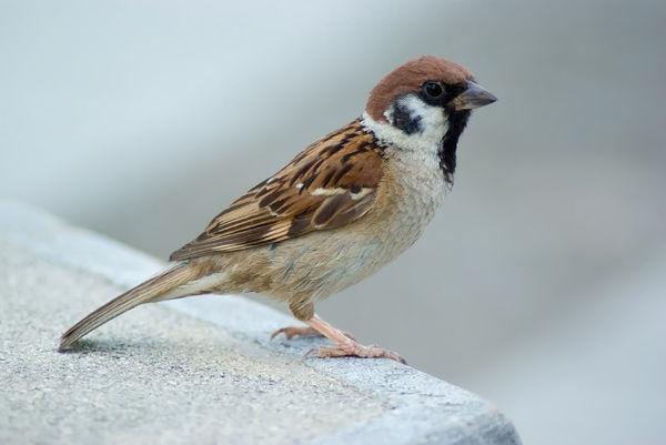 Tree_Sparrow_August_2007_Osaka_Japan-1